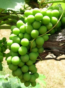 grapes for weight loss fat loss diamond wellness center